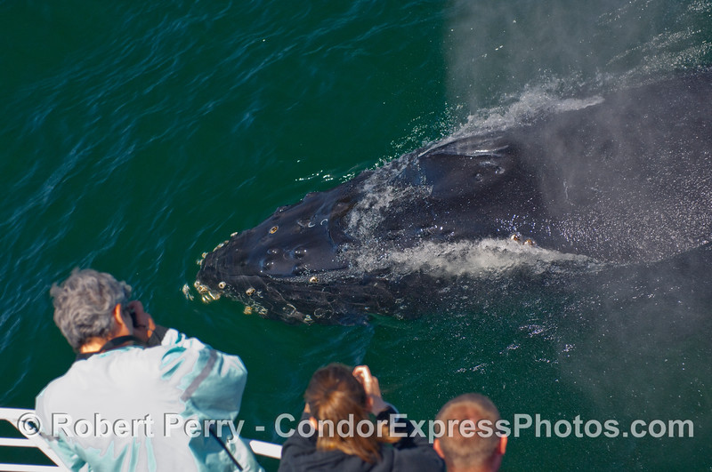 A Humpback Whale (Megaptera novaengliae) mugs the Condor Express and allows whalers on board to get an up close and personal look.