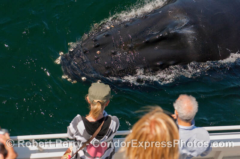 Size matters - A Humpback Whale (Megaptera novaengliae) is compared to the size of the whalers on board the Condor Express.