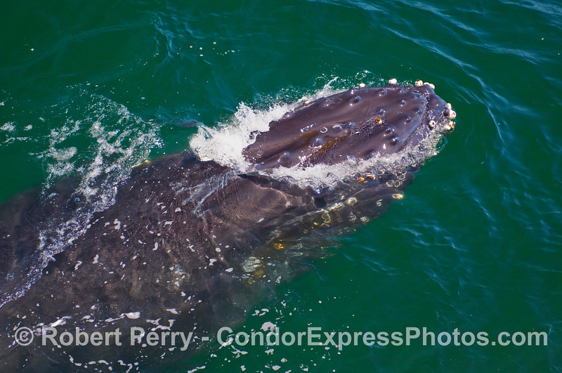 A Humpback Whale (Megaptera novaengliae) head pops through the surface...the rest of it is still underwater.