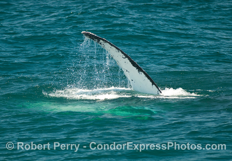 A Humpback Whale (Megaptera novaengliae) waves its long pectoral fin in the air.