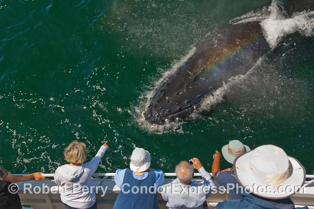 There it is! A Humpback Whale (Megaptera novaengliae) mugs the Condor Express and allows whalers on board to get an up close and personal look.