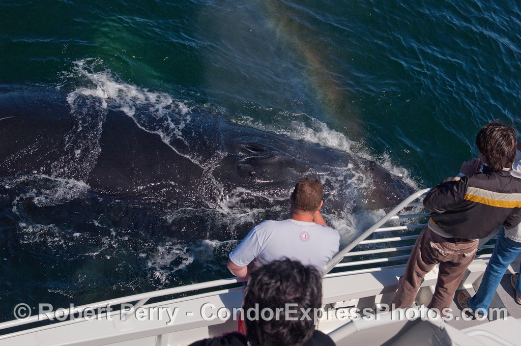 Rainbow spray from the might blow of this Humpback Whale (Megaptera novaengliae).