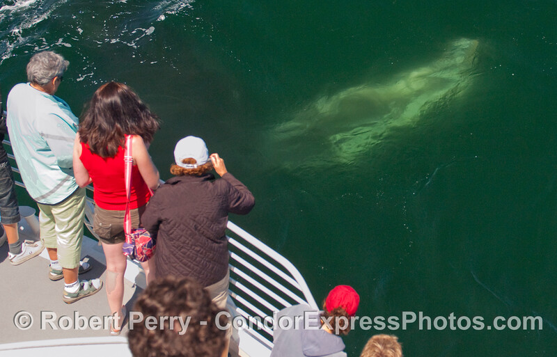 Another Humpback Whale (Megaptera novaengliae) pectoral fin in very rich and soupy green water.