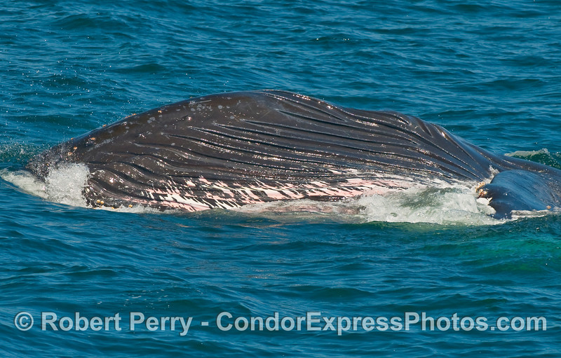 Sequence 2 of 2:  A huge sideways lunge of a Humpback Whale (Megaptera novaengliae) takes in over a thousand gallons of seawater full of krill.  Note the lower jaw shown here with pleats expanded and the animal is starting to roll over on its right side.