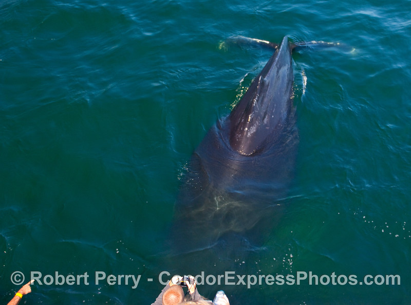 A Humpback Whale (Megaptera novaengliae) dives so the whaler with the camera can see its dorsal hump and tail flukes.