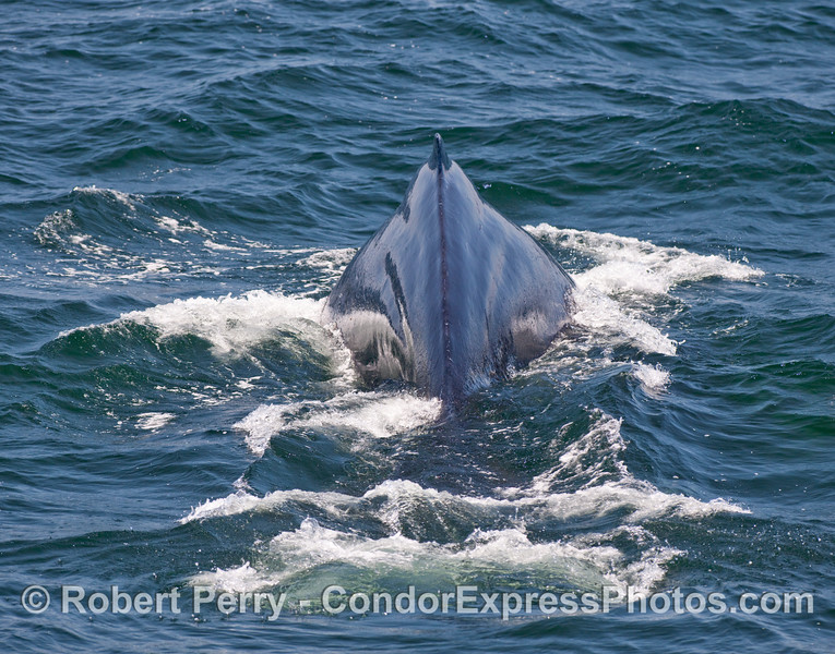 A view looking from tail towards the head as a Humpback Whale (Megaptera novaengliae) arches its back.