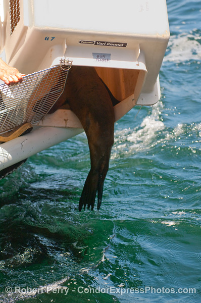 No!  Let me back in my cage!  I don't want to go into that big Pacific Ocean!  A California Sea Lion (Zalophus californianus) hind flippers dangle out of  its cage as it scrambles back inside.  [My apologies for all this anthropomorphic talk].