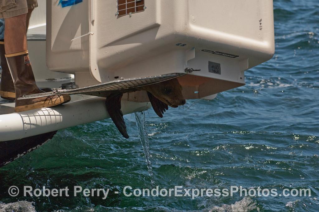 California Sea Lion (Zalophus californianus) continues to resist its return to the wild.