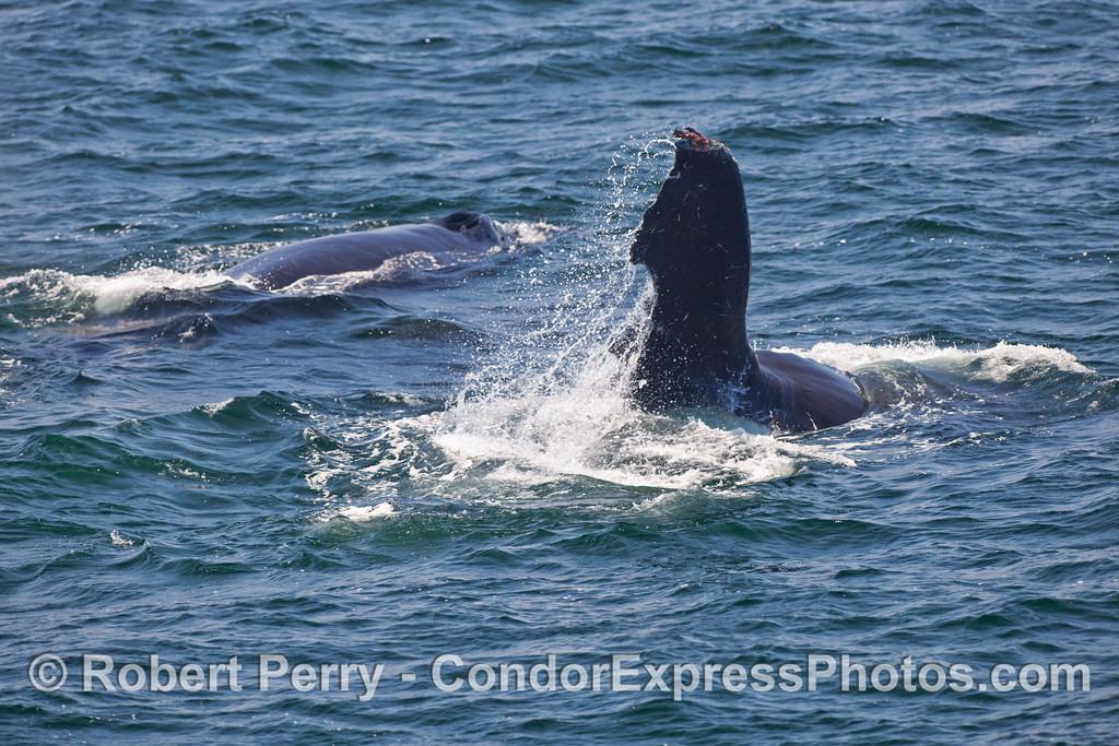 Two Humpback Whales (Megaptera novaengliae).