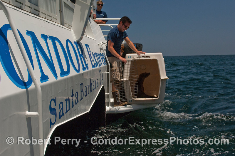 Captain Jacques Manoux and CIMWI staff try to coax a young California Sea Lion (Zalophus californianus) out of its cage.  This rehabilitated animal is being released back into the wild, but is reluctant to leave its temporary cozy home and all those free meals.
