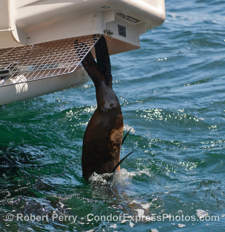 A rehab'd California Sea Lion (Zalophus californianus) finally takes the plunge back into the calm seas off Santa Cruz Island.