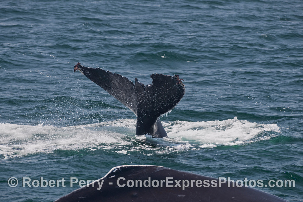 "Two Humpback Whales (Megaptera novaengliae), a dorsal ""hump"" and a rather chewed-up tail fluke."