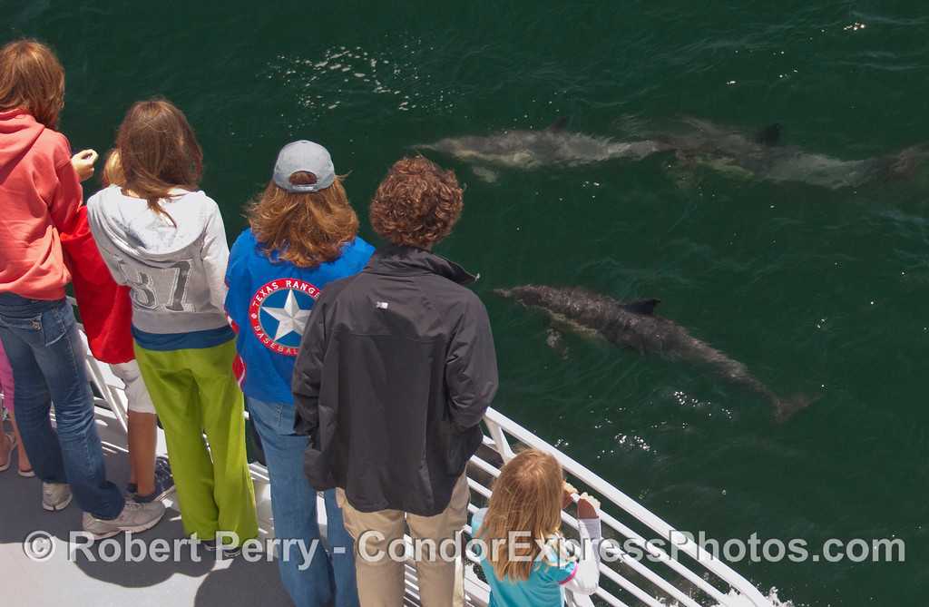 Whalers on the Condor Express get a couple of curious Common Dolphin (Delphinus capensis) visitors.