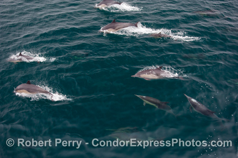 A cluster of Common Dolphins (Delphinus capensis), part of a much large pod.