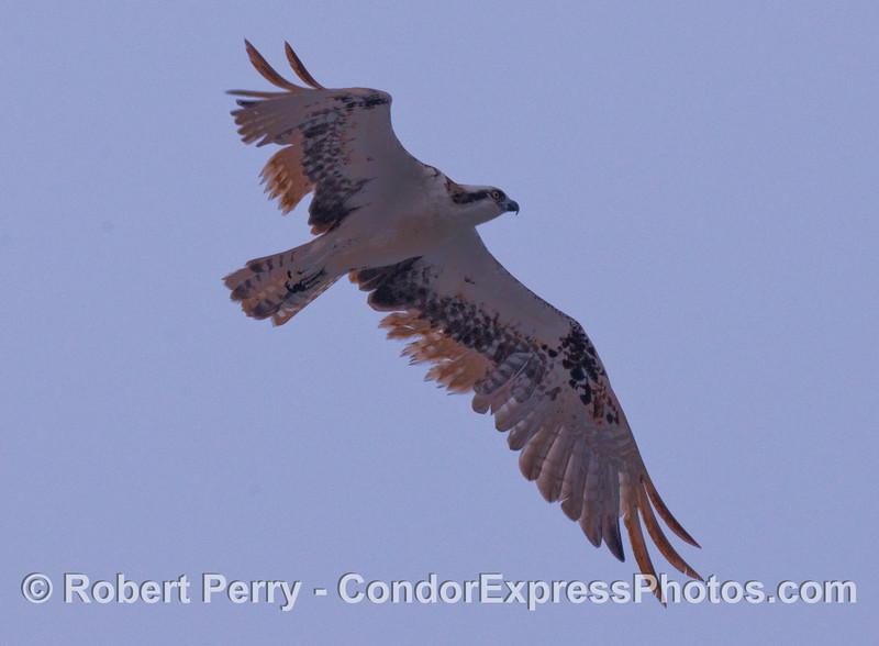 The mighty Osprey (Pandion haliaetus) soars overhead in Santa Barbara Harbor.