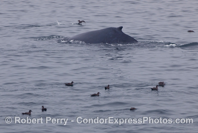 A Humpback Whale (Megaptera novaeangliae) among a few Sooty Shearwaters (Puffinus griseus).