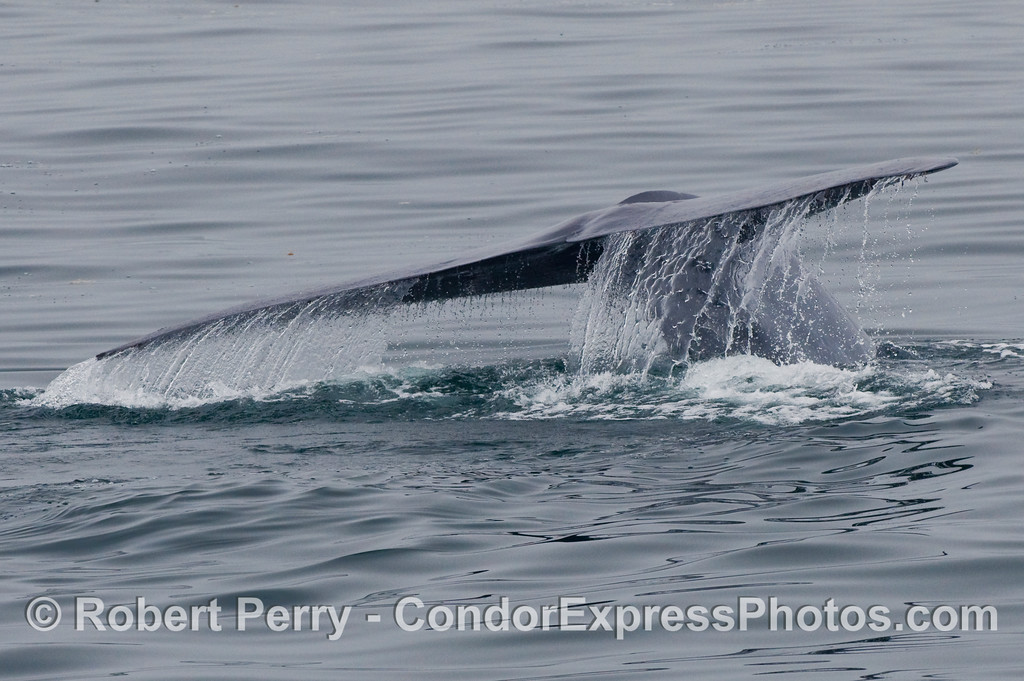 Image 2 of 2:  Blue Whale (Balaenoptera musculus) tail fluke waterfall.