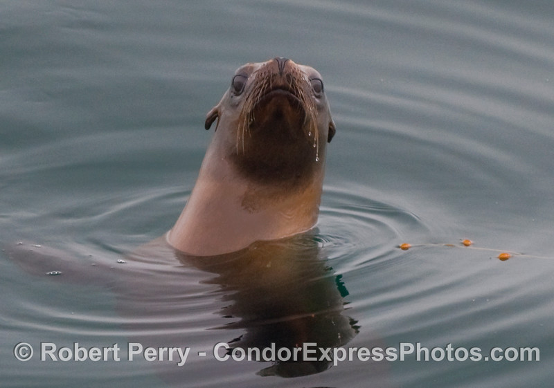 California Sea Lion (Zalophus californianus) with water dripping off its whiskers (vibrissae).