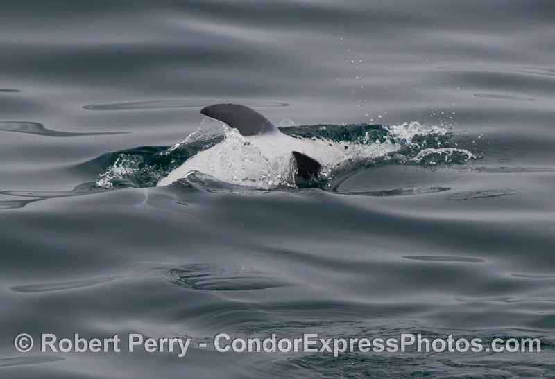 More fooling around by a Common Dolphin (Delphinus capensis)..this individual is upside down, zooming.