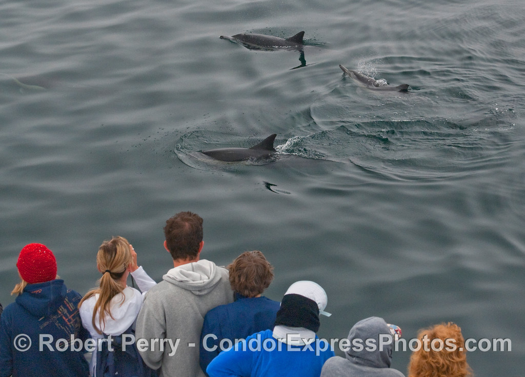 Whalers on board the Condor Express take a look at some friendly Common Dolpnins (Delphinus capensis).