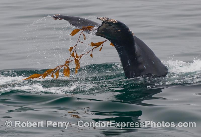 Humpback Whale (Megaptera novaengliae) and Giant Kelp (Macrocystis pyrifera).