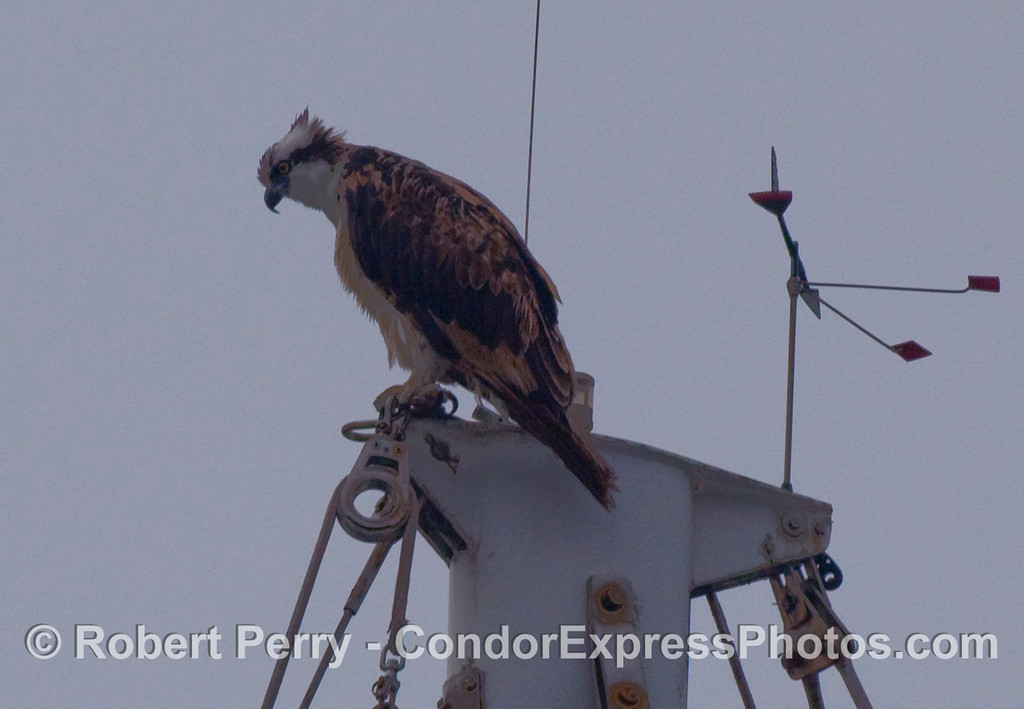 A majestic Osprey (Pandion haliaetus) perched atop its masthead vantage point in Santa Barbara Harbor.