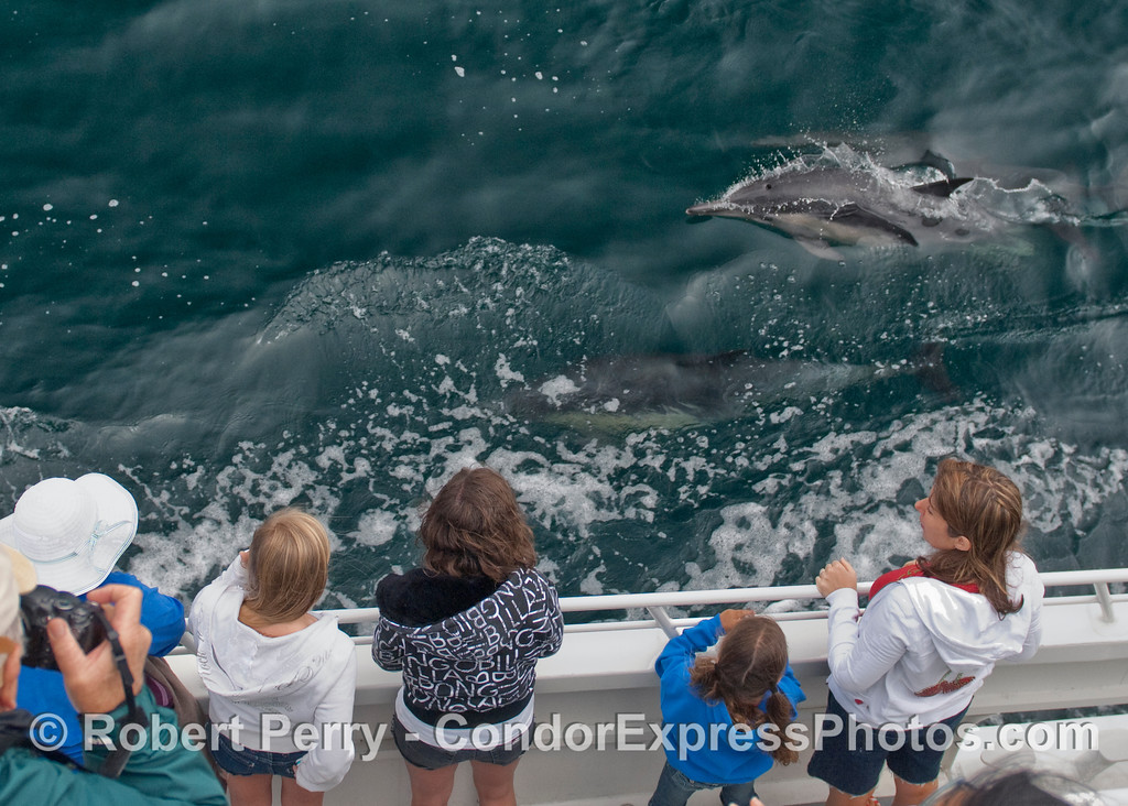 A speeding torpedo (Common Dolphin, Delphinus capensis) speeds by the whalers on board the Condor Express.