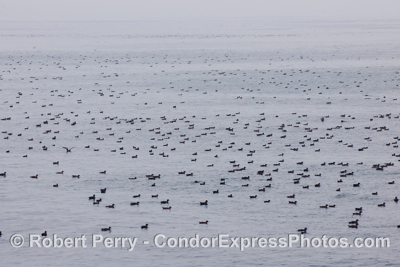 Just a portion of the Sooty Shearwater (Puffinus griseus) masses around the Condor Express today.