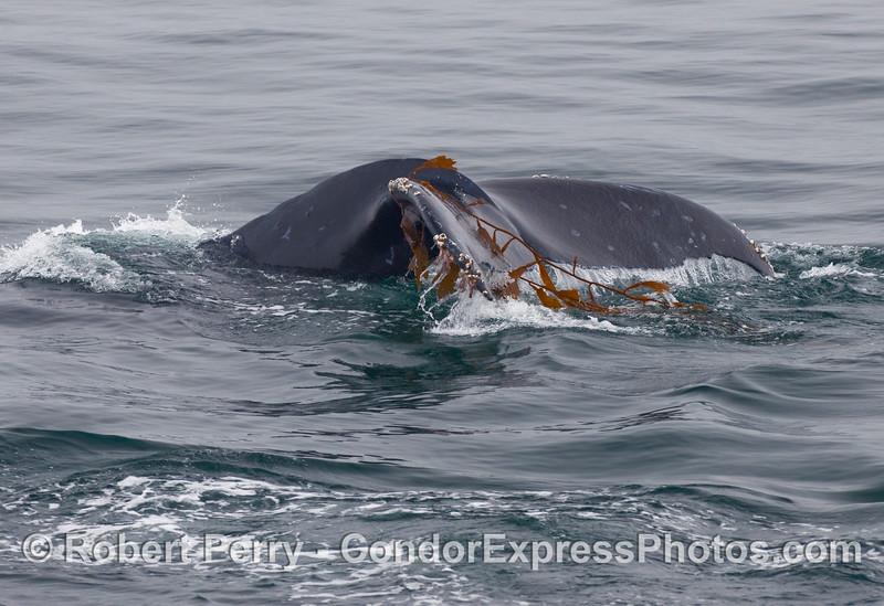 Humpback Whale (Megaptera novaengliae) tail fluke and Giant Kelp (Macrocystis pyrifera).