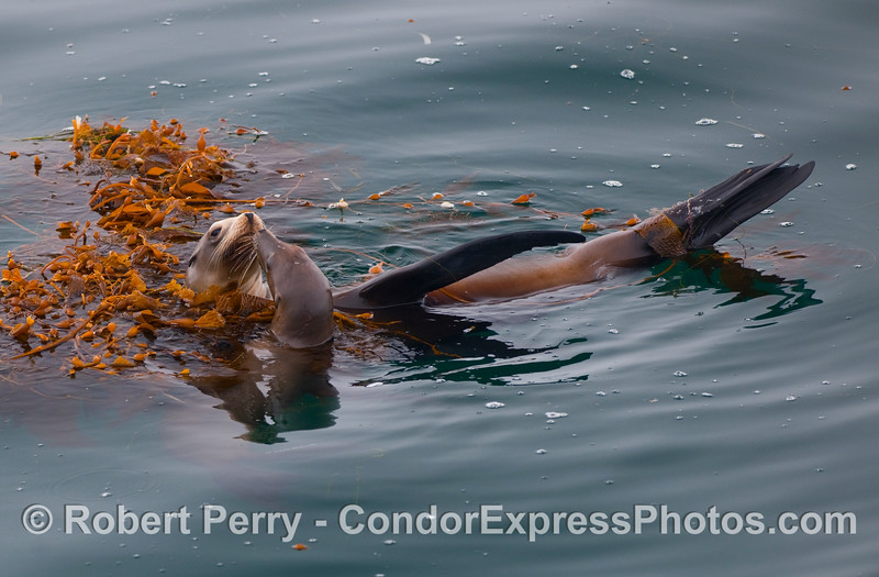 Two California Sea Lions (Zalophus californianus) rafting, nose-to-nose in a drifting open ocean paddy of Giant Kelp (Macrocystis pyrifera).