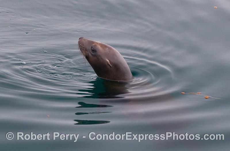 Side view of a California Sea Lion (Zalophus californianus) head.