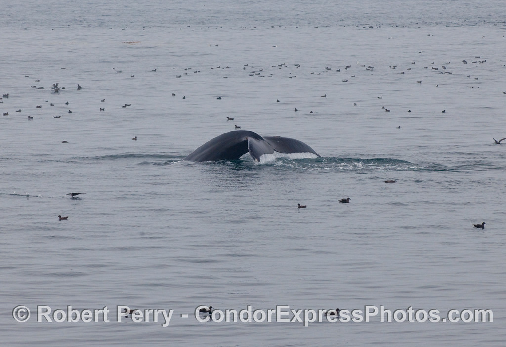 Distant tail fluke of a Humpback Whale (Megaptera novaengliae) among the Sooty Shearwaters (Puffinus griseus).