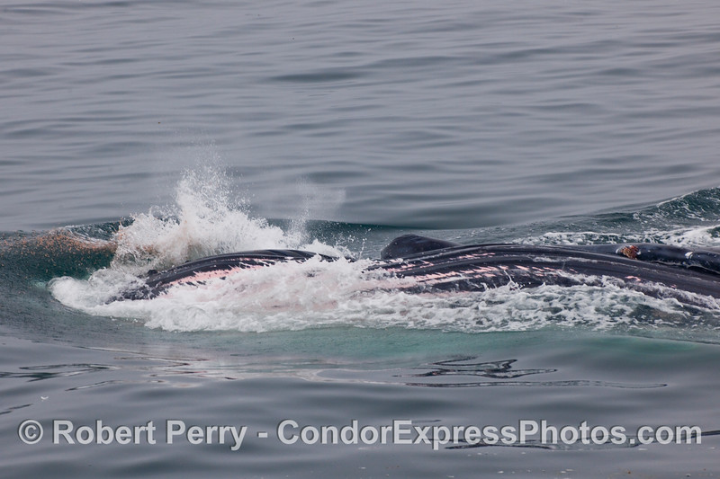 Concluding image in the series - Humpback Whale (Megaptera novaengliae) lunge feeding sequence...and still a bunch of krill (Thysanoessa spinifera) can be seen to the left of the closed mouth and in the whitewash...escaping their doom, for the moment.