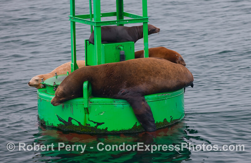 A young bull California Sea Lion (Zalophus californianus) rests on the Santa Barbara Harbor entrance buoy.  Several females and/or very young sea lions can be seen elsewhere on the buoy.