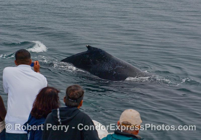 Whalers get the hump of a very friendly Humpback Whale (Megaptera novaeangliae).