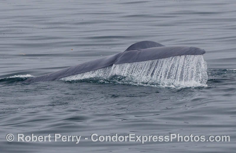 Image 1 of 2:  Blue Whale (Balaenoptera musculus) tail fluke waterfall.