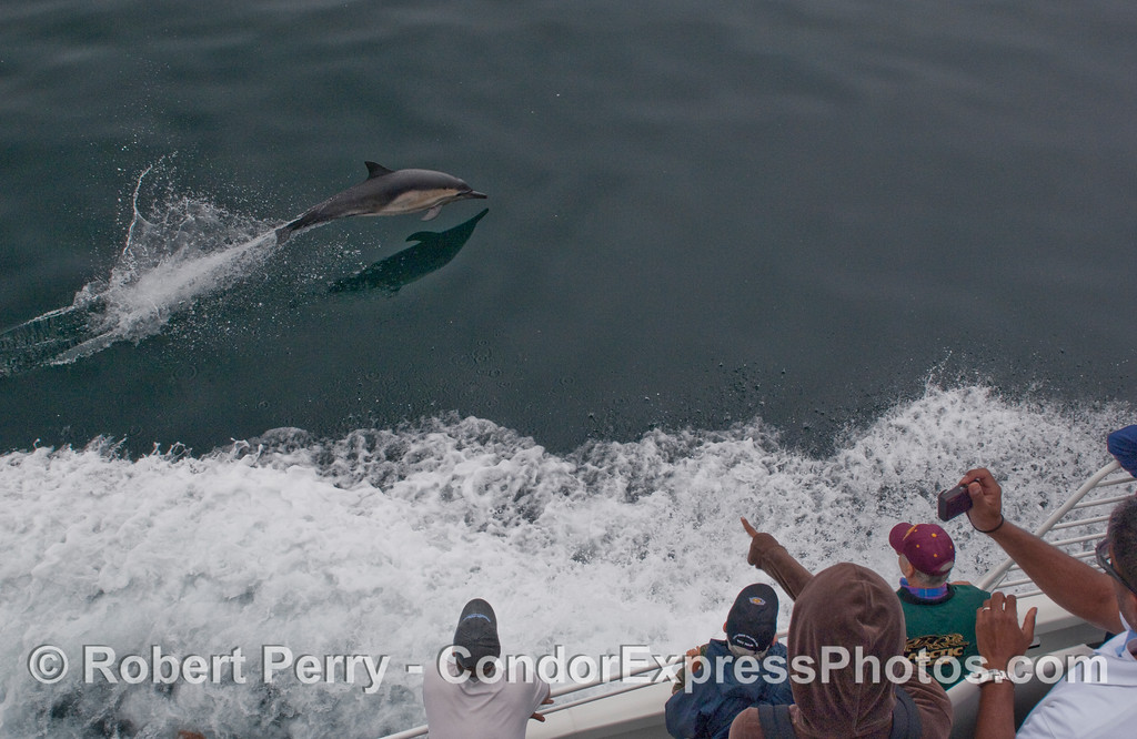 Whalers on the Condor Express enjoy some aerial acrobatics from a speeding Common Dolphin (Delphinus capensis) that is keeping pace with the boat.
