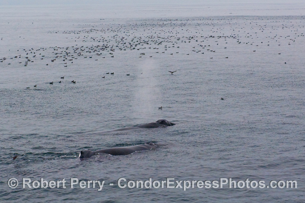 Two Humpback Whale (Megaptera novaengliae) in the midst of the Sooty Shearwater masses (Puffinus griseus).