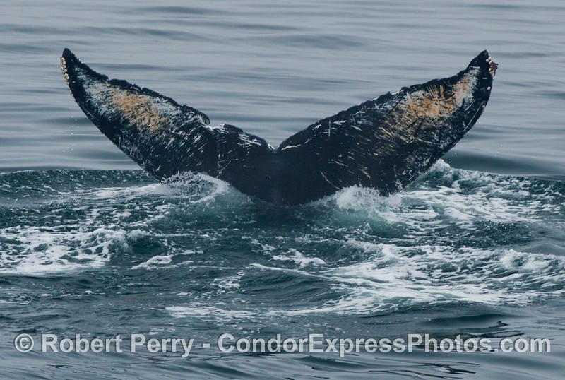 Humpback Whale (Megaptera novaengliae) tail fluke close up look.