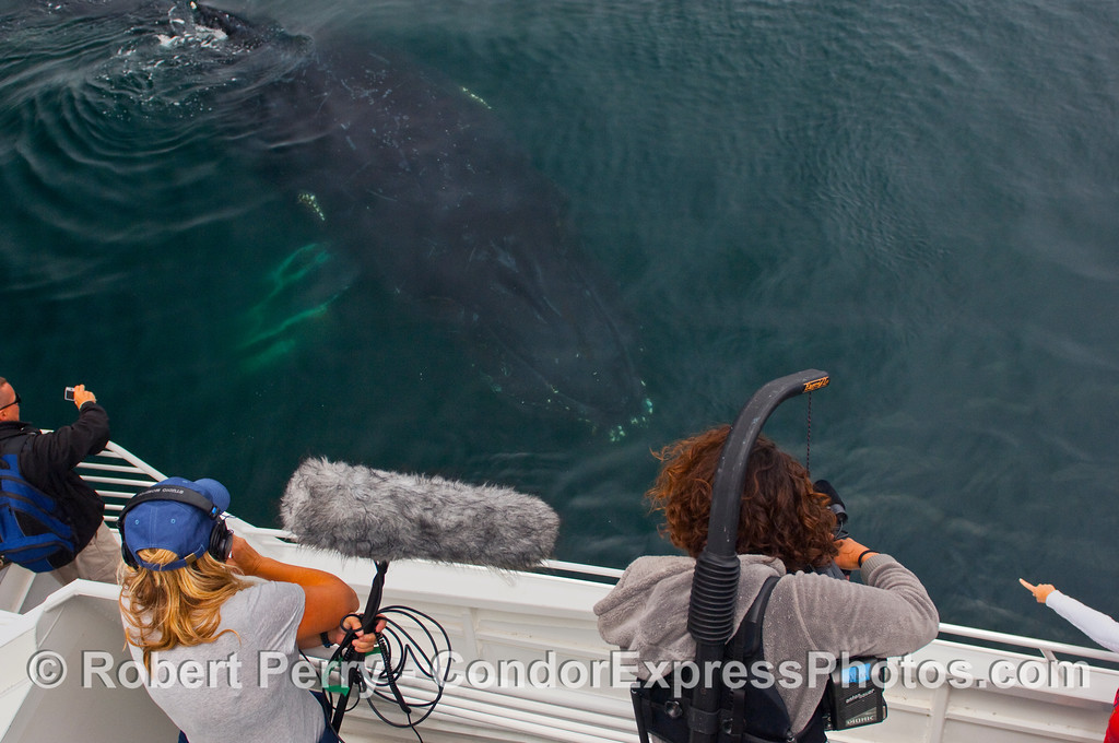 NOAA and CINC videographers witness an extremely friendly approach by a Humpback Whale (Megaptera novaengliae).