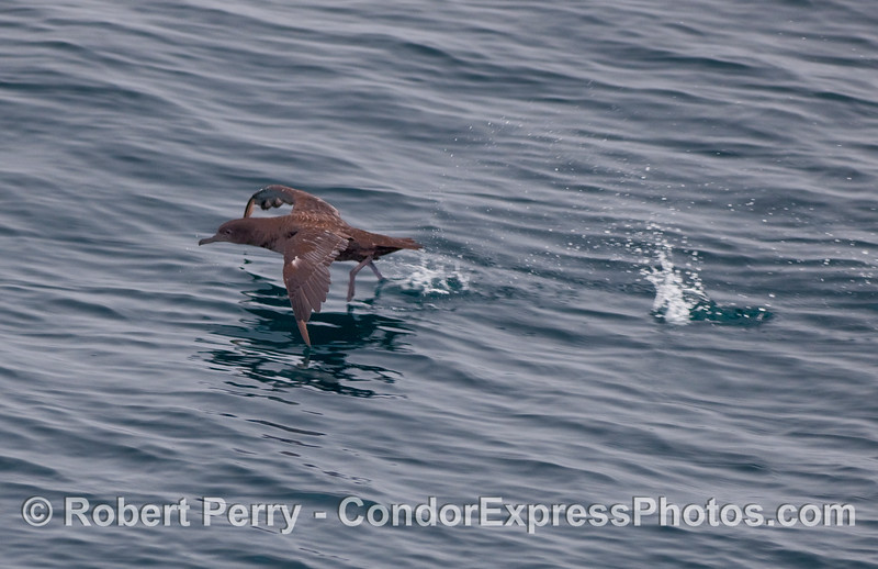 """A Sooty Shearwater (Puffinus griseus) """"runs on the water"""" during a take off."""