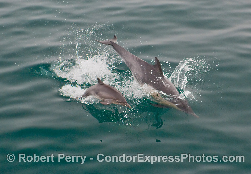 Image 2 of 2:  A Common Dolphin (Delphinus capensis) mom takes her baby calf for a swim in the Santa Barbara Channel.