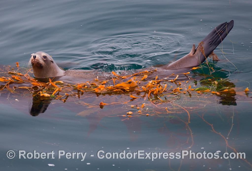 California Sea Lion (Zalophus californianus) in a drifting Giant Kelp paddy (Macrosystis pyrifera).