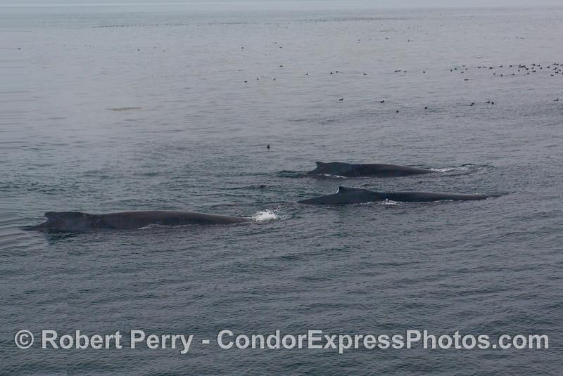 Three Humpback Whales (Megaptera novaengliae) in a row.