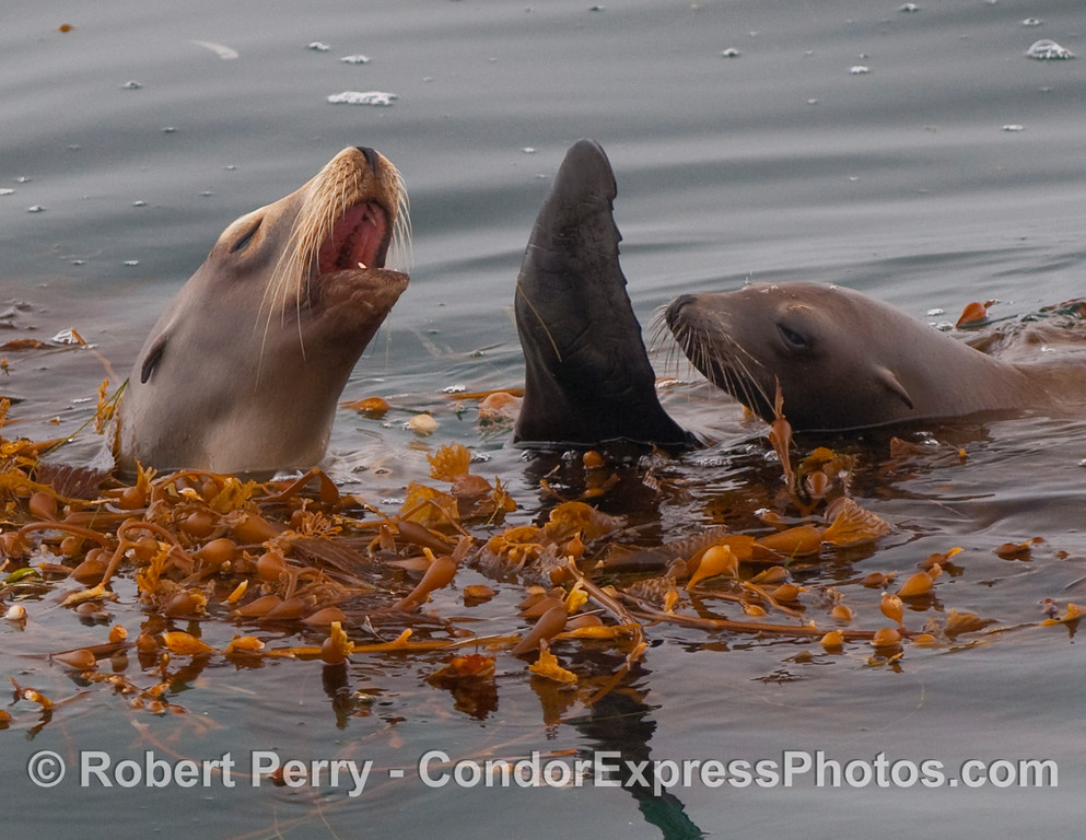 Close look at two California Sea Lions rafting in a drifting paddy of Giant Kelp (Macrocystis pyrifera).  The object in between the two animals is a pectoral flipper.