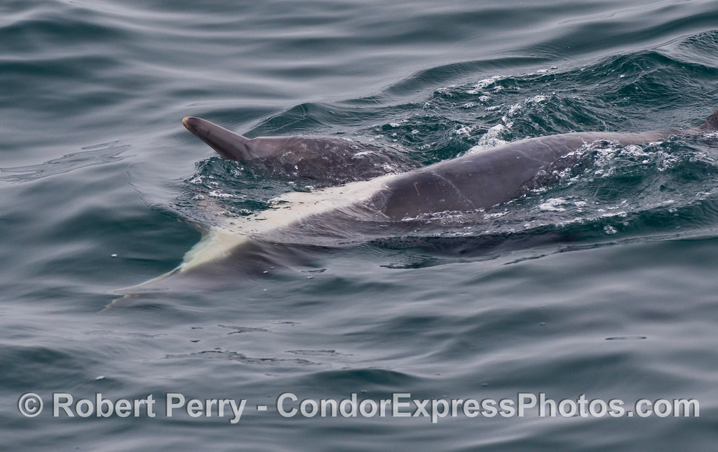 One of a series of images showing two Common Dolphins (Delphinus capensis) fooling around.