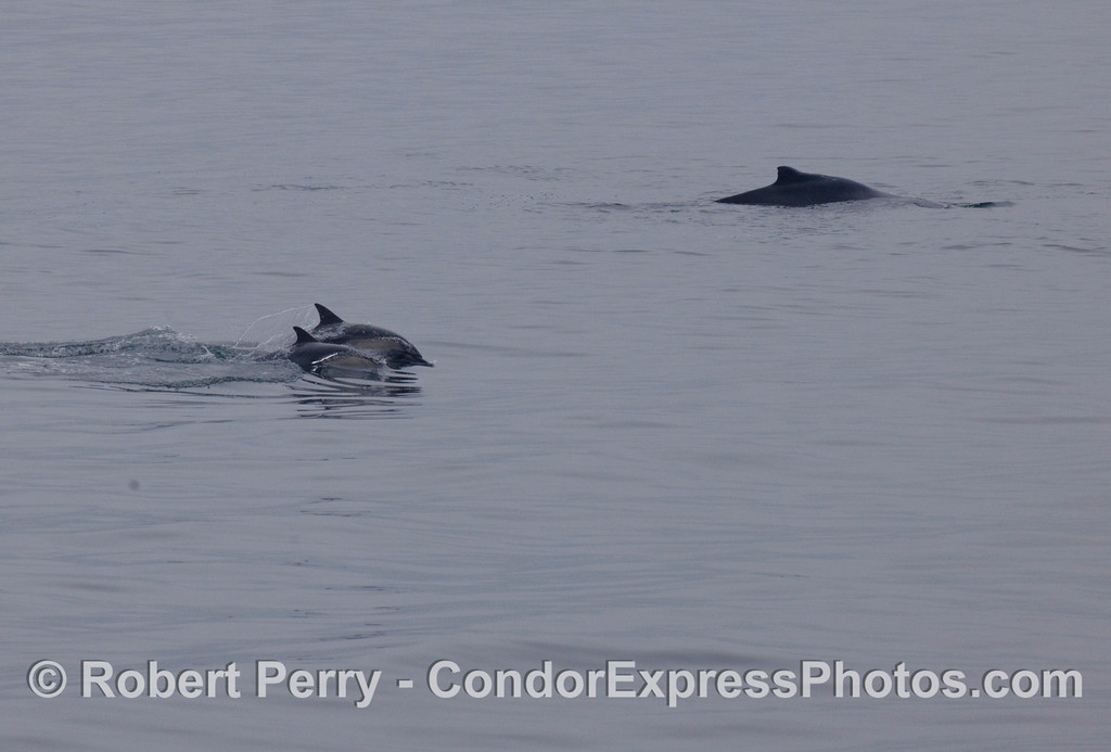 Two speeding Common Dolphins (Delphinus capensis) and one Humpback Whale (Megaptera novaengliae).