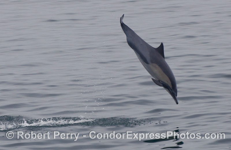 Common Dolphin (Delphinus capensis) in flight.
