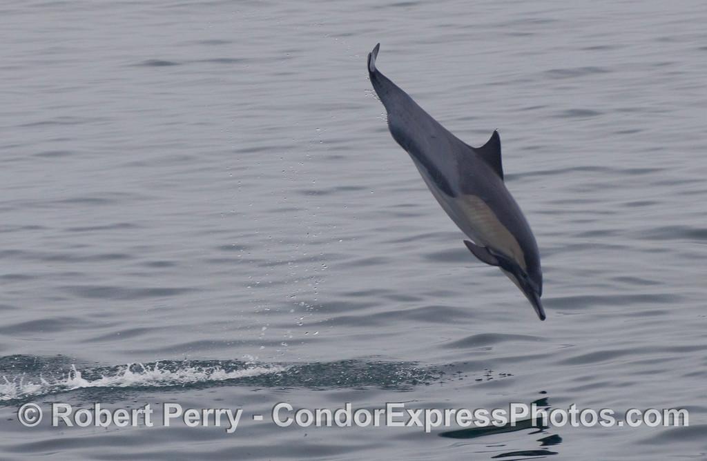 Common Dolphin (Delphinus capensis) in flight.