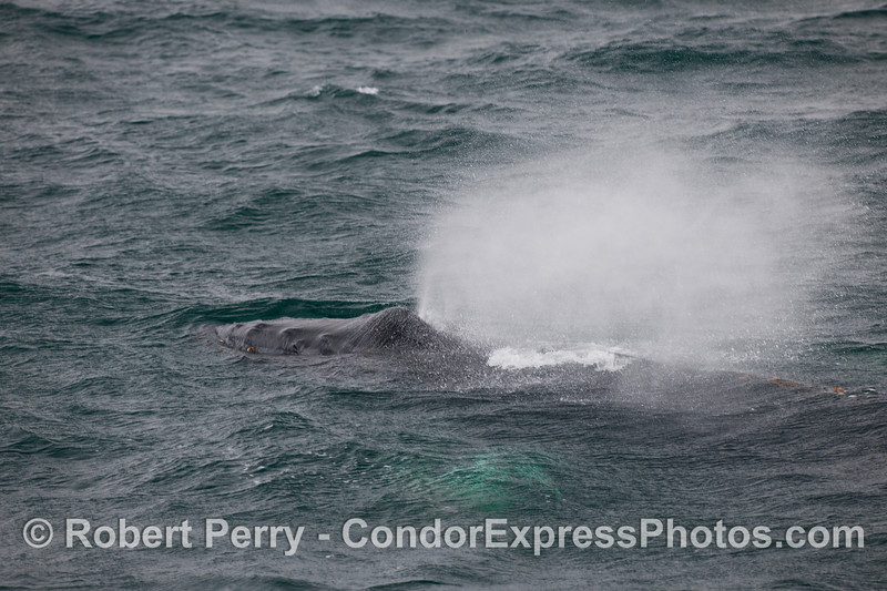 Rain everywhere from the breeze blowing this Humpback Whales (Megaptera novaeangliae) spout.